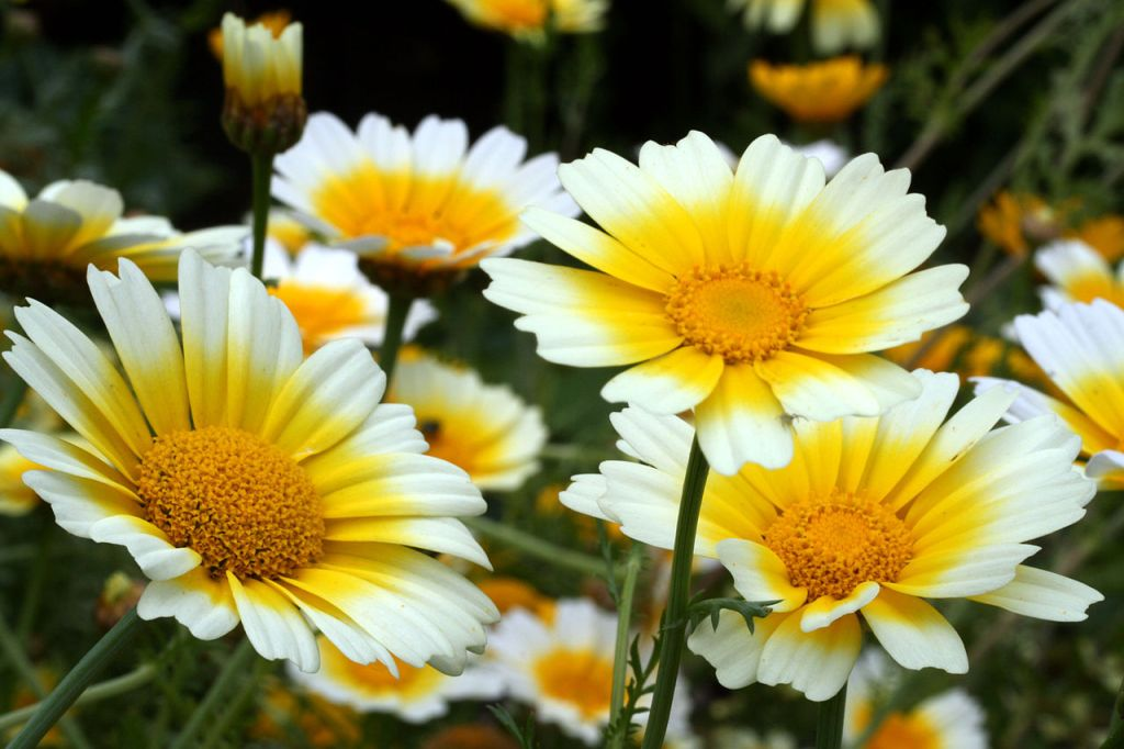 Closeups of daisylkie white and yellow garland chrysanthemum flowers