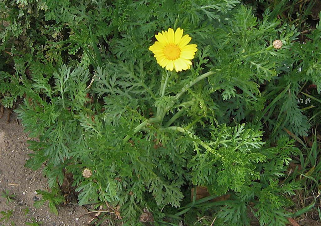 One yellow garland chrysanthemum flower with abundant gray-green cut leaves.
