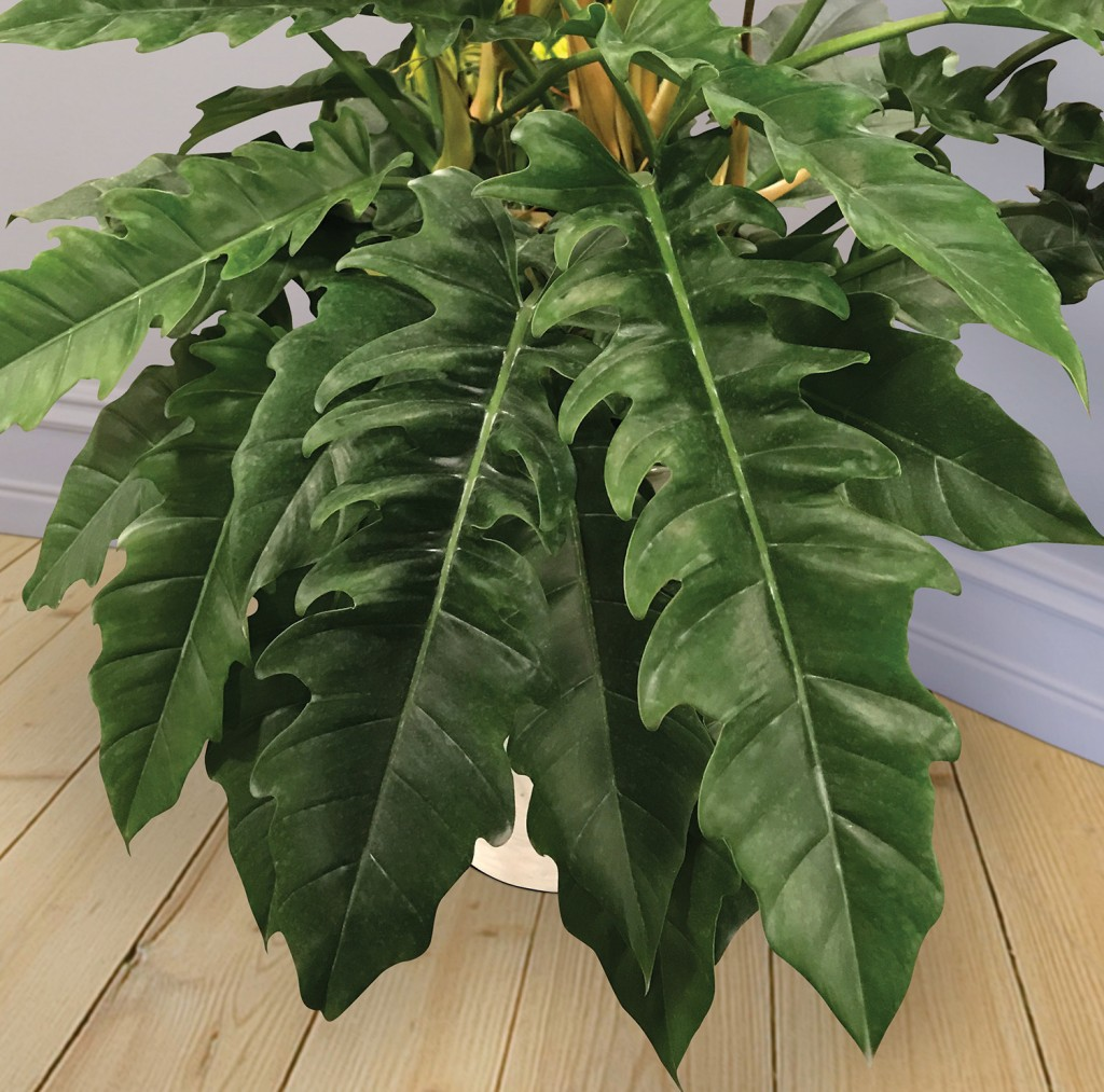 Philodendron with long, narrow leaves, deeply cut along the edges, forming a rosette.