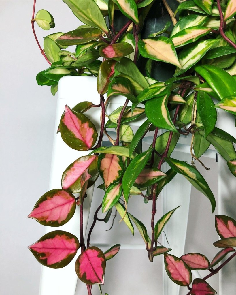 Hanging plant with thick waxy green leaves marked variously with cream or pink, thick brown stems.