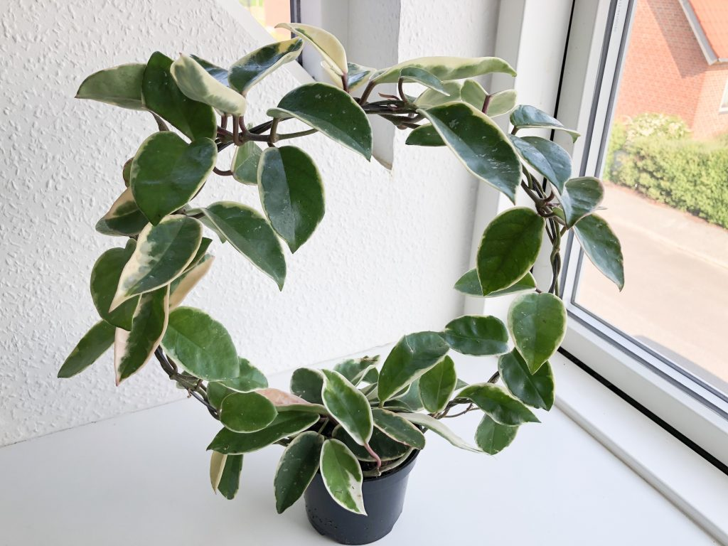 Climbing lant with thick, waxy, elliptic leaves variegated white, growing around a hoop
