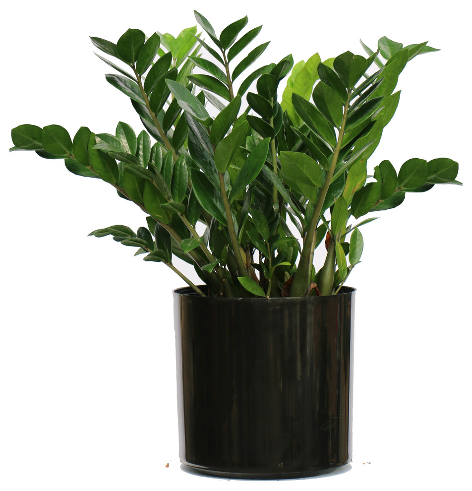 Fernleanlike plant with thick shiny leaflets in a black pot