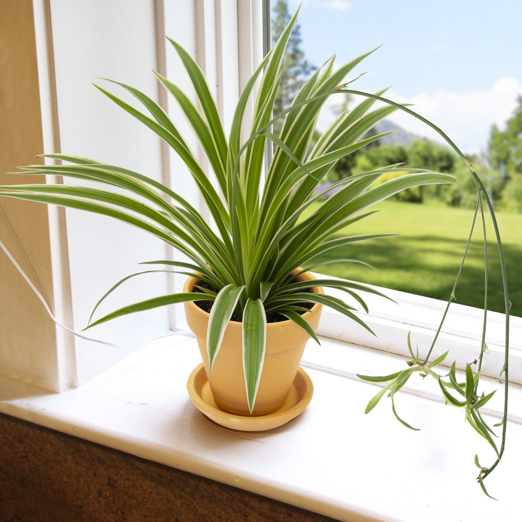 Spider plant with narrow pointed green leaves edged in white, a few baby spider plants arch down.
