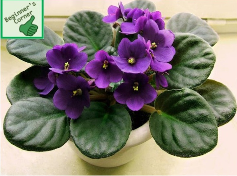 African violet with single purple flowers