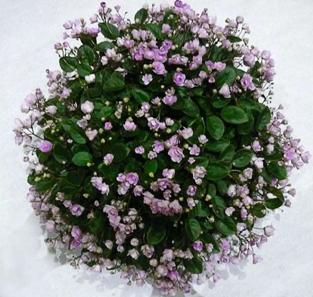 Trailing African violet forming a round ball, hundreds of double lavender flowers.