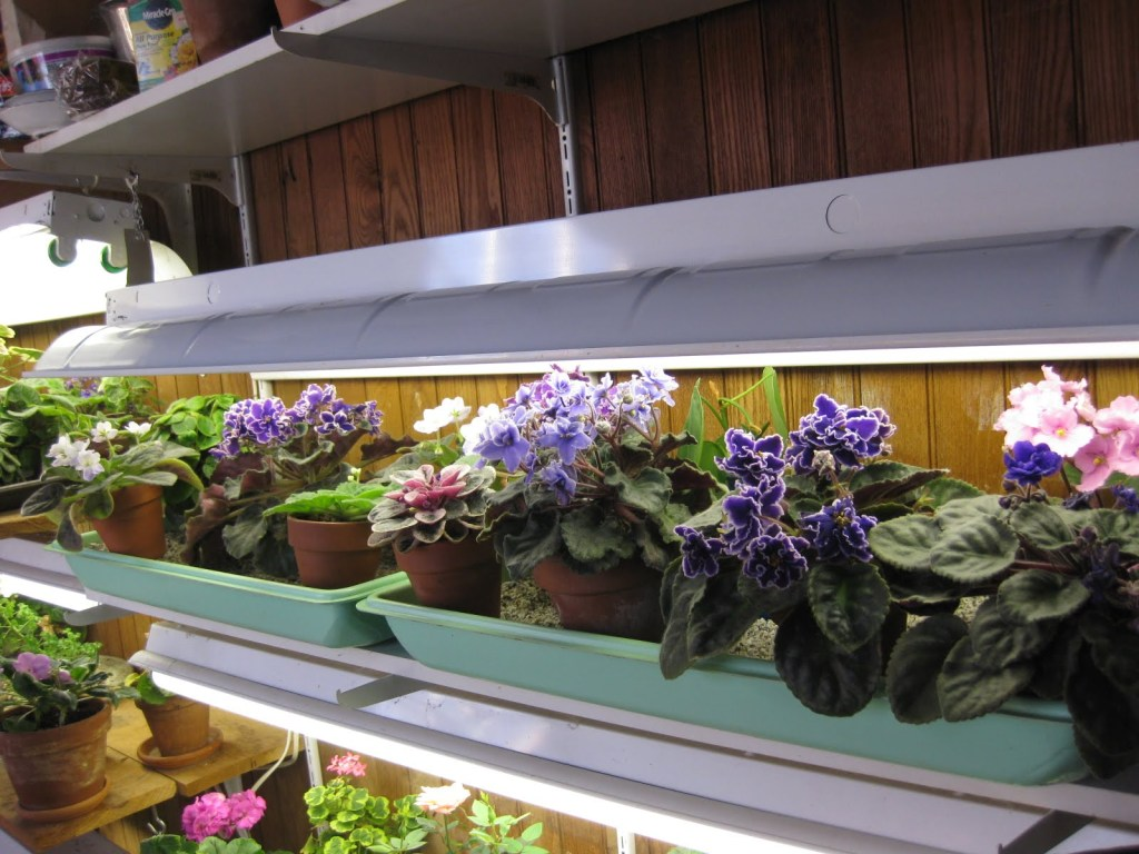 African violets of various colors growing under a fluorescent light.