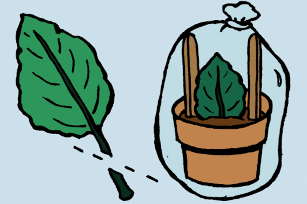 Illustration of African violet leaf cut at 45 degree angle, then of leaf cutting inserted into pot, covered with clear plastic bag.