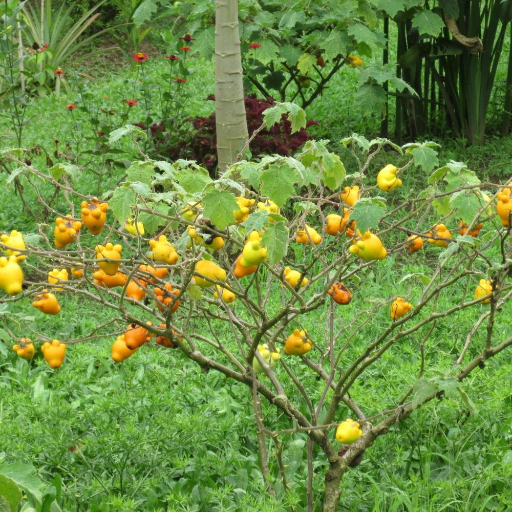 Shrub of Nipple fruit in a field in the tropics Many branches,many fruits.