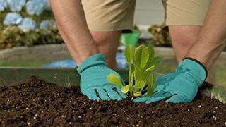 Hands planting lettuce in wheelbarrow garden.