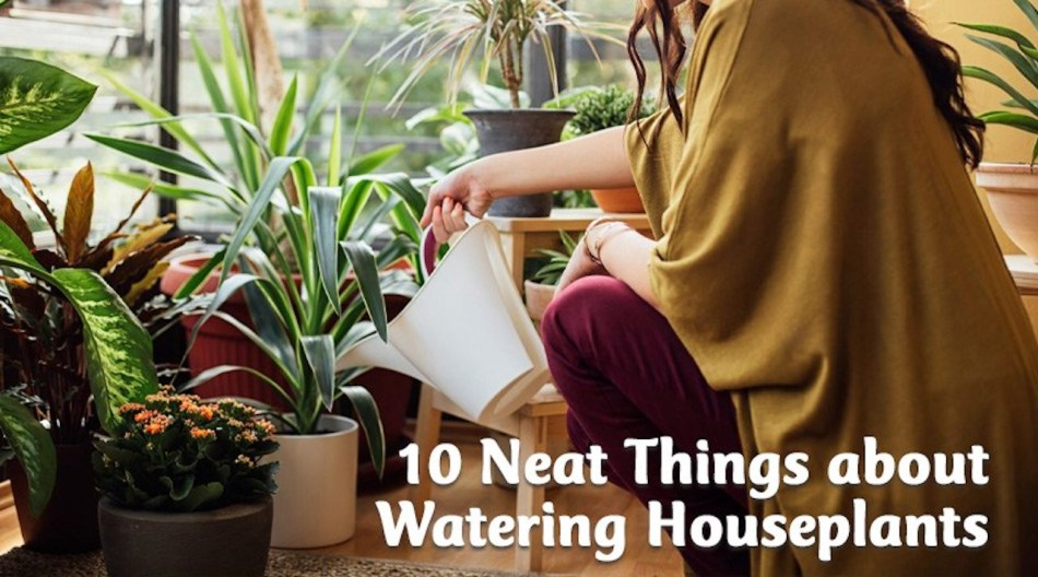 Woman watering houseplants with white plastic watering can.