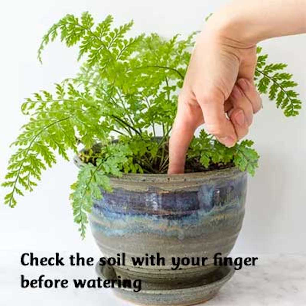 Finger inserted into pot of fern to tell if it needs watering.