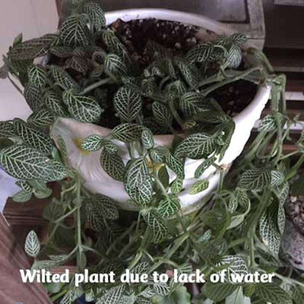 Wilted fittonia with white nerves on green leaves.