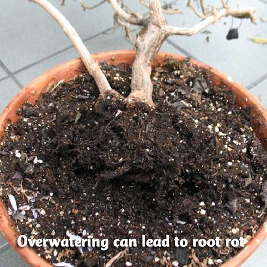 Dead plant in pot with rotted roots.