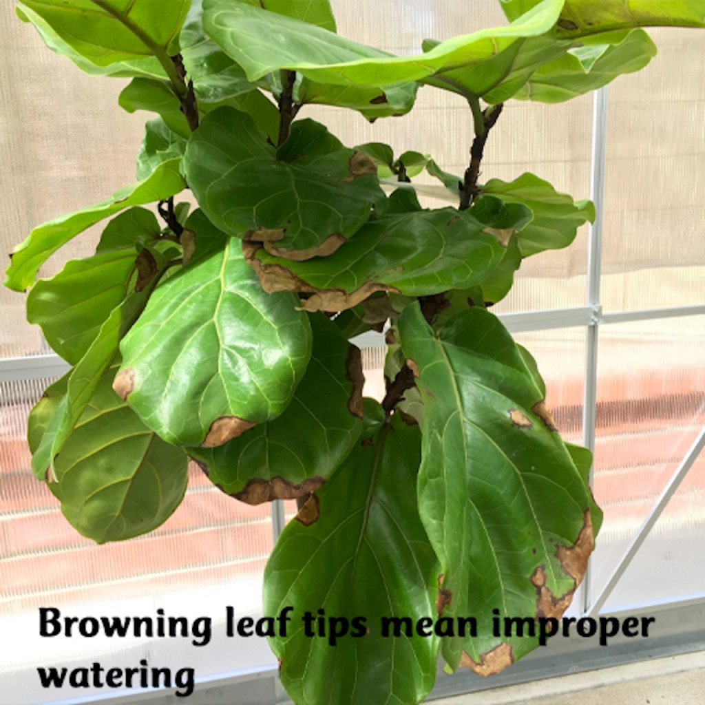 Ficus lyrata with brown markings near leaf tip.