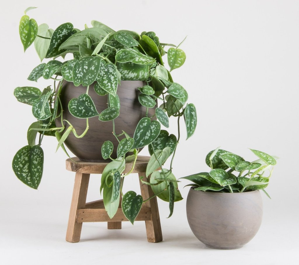 Two plants of Satin pothos: one trailing from a stool, one on the floor.