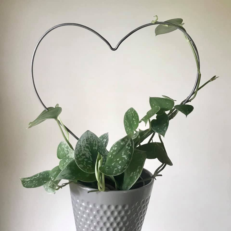 Satin pothos being trained onto a heart-shaped support.
