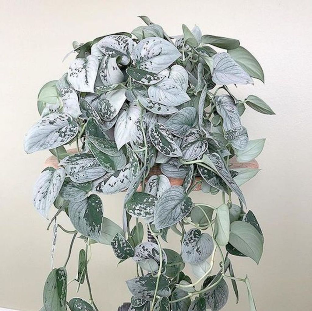 Scindapsus pictus 'Silvery Ann' with variable coloration, some leaves almost entirely whitish silver.