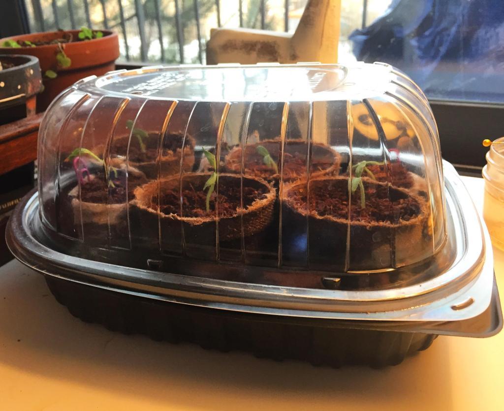 Pots of seedlings in a tray.