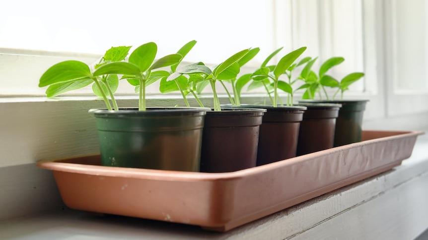Squash seedlings on a windowsill.