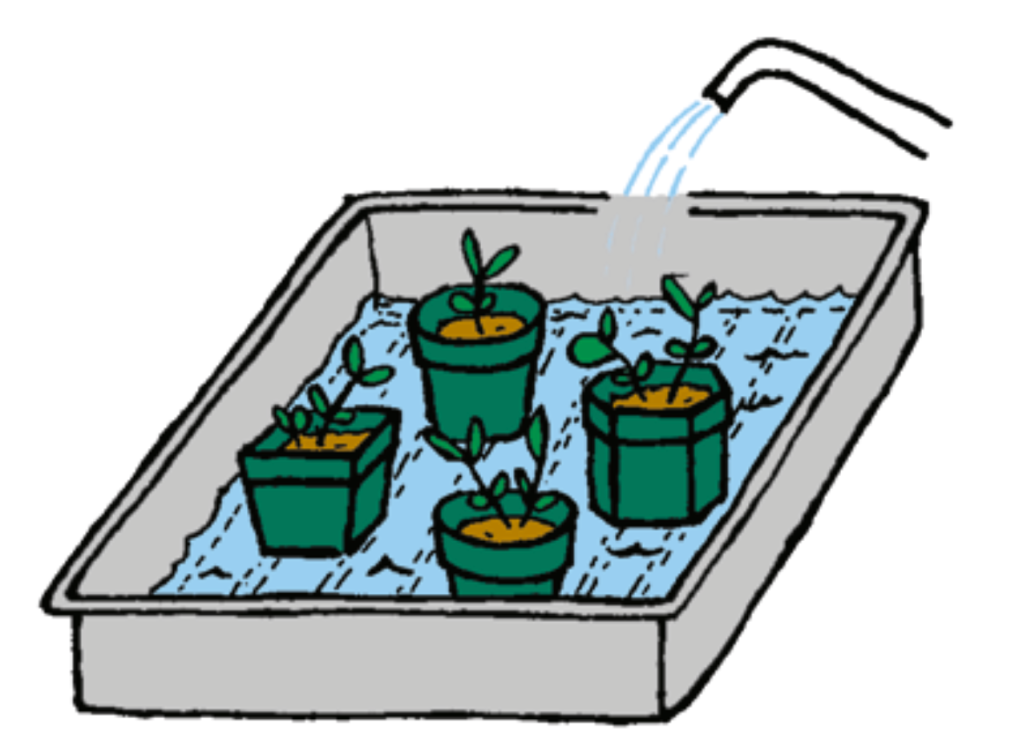 Pots of seedlings that soak in water from a tray.
