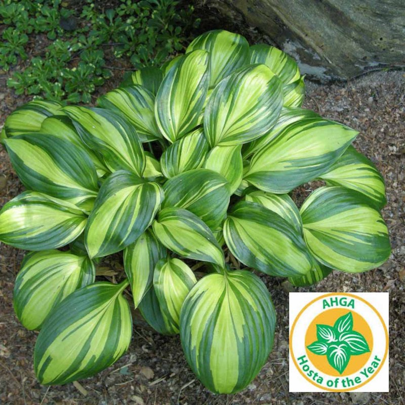 Hosta with broad, dark green leaves heavily striped with greenish yellow, bears logo Hosta of the Year.