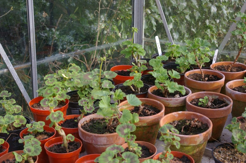 Young cuttings, not yet in bloom, in s small greenhouse.