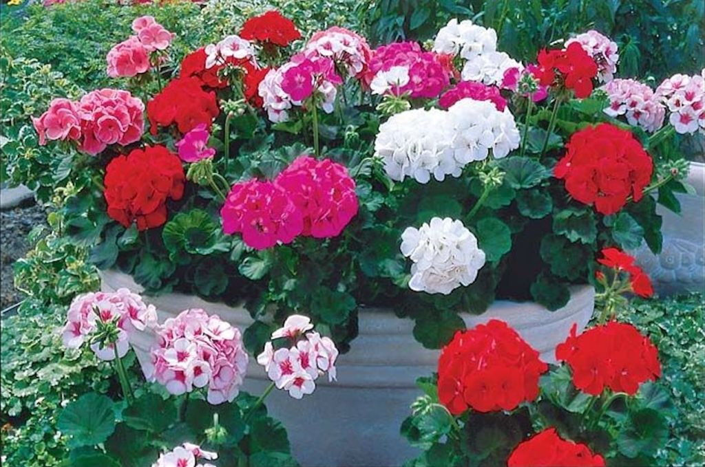 zonal pelargoniums of various colors in a big white pot.