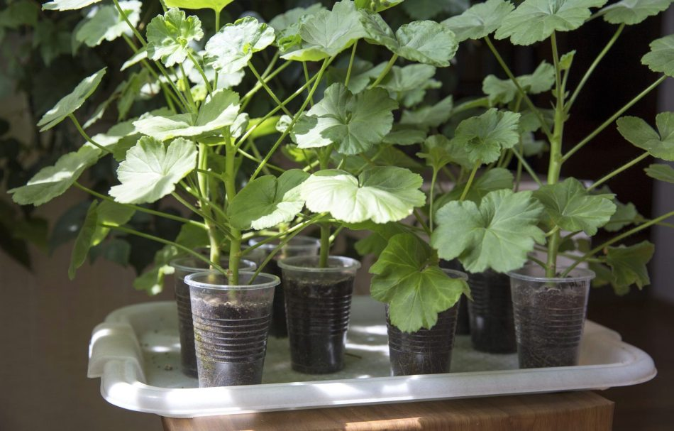 Pelargonium cuttings rooting in clear plastic drinking cups.