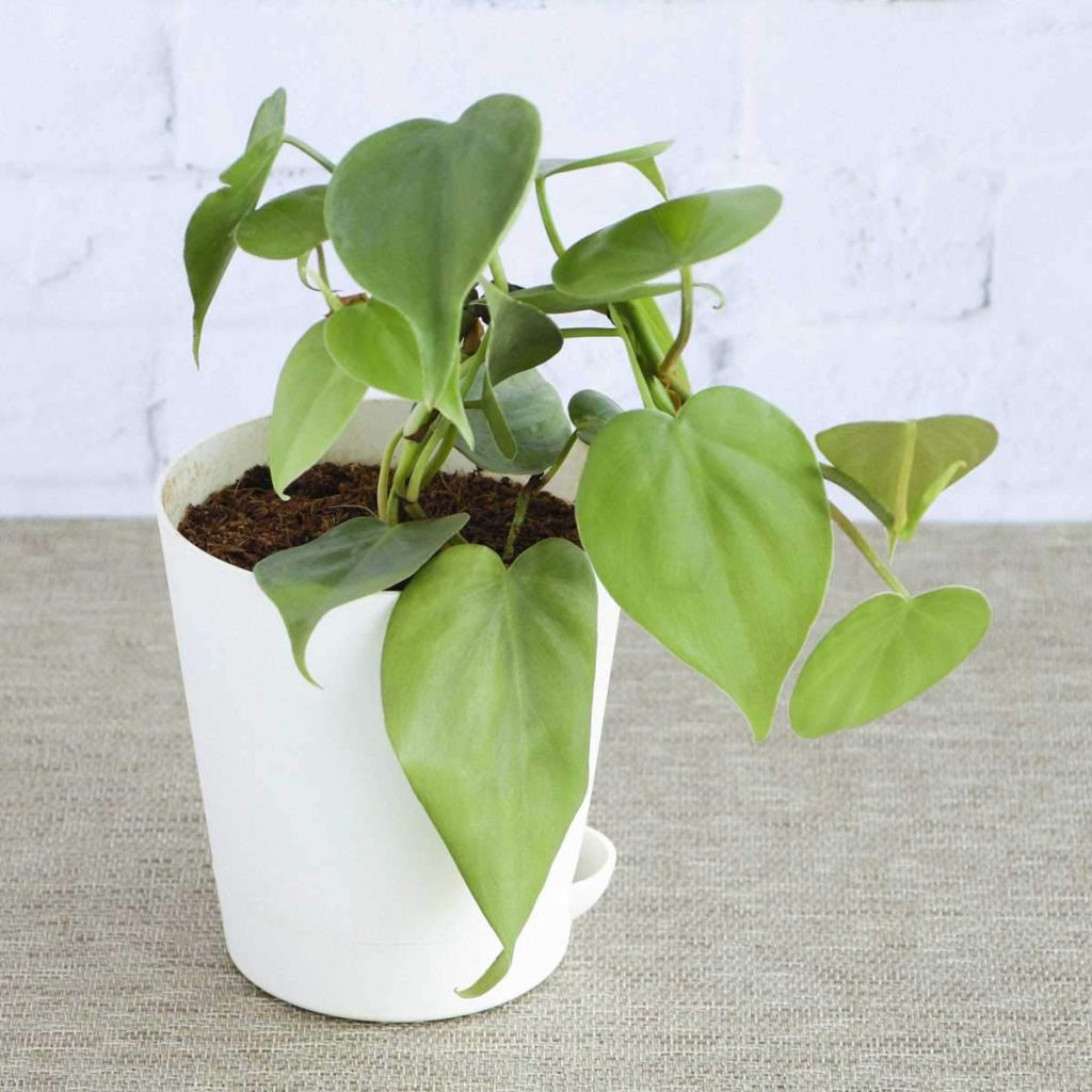 Heartleaf Philodendron in white pot