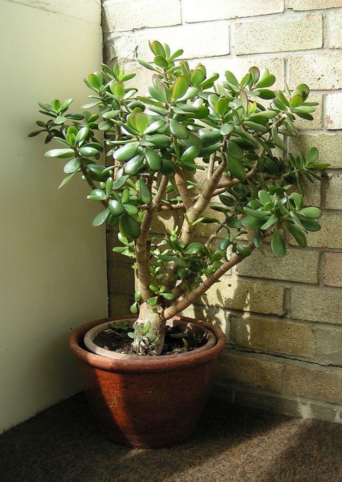 Jade plant against brick wall