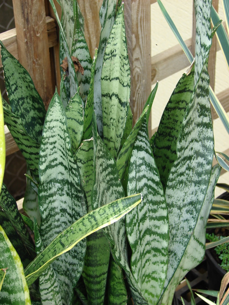 Mother-in-Law's Tongue with marbled leaves