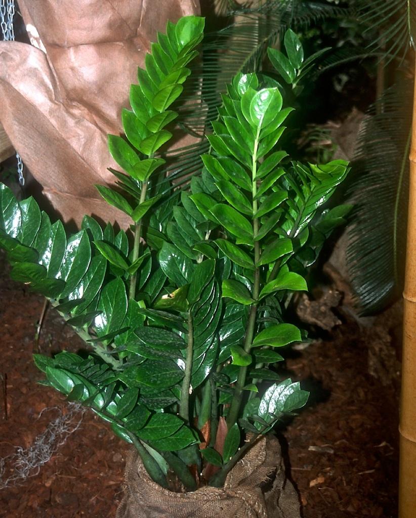 Zizi plant with shiny leaves