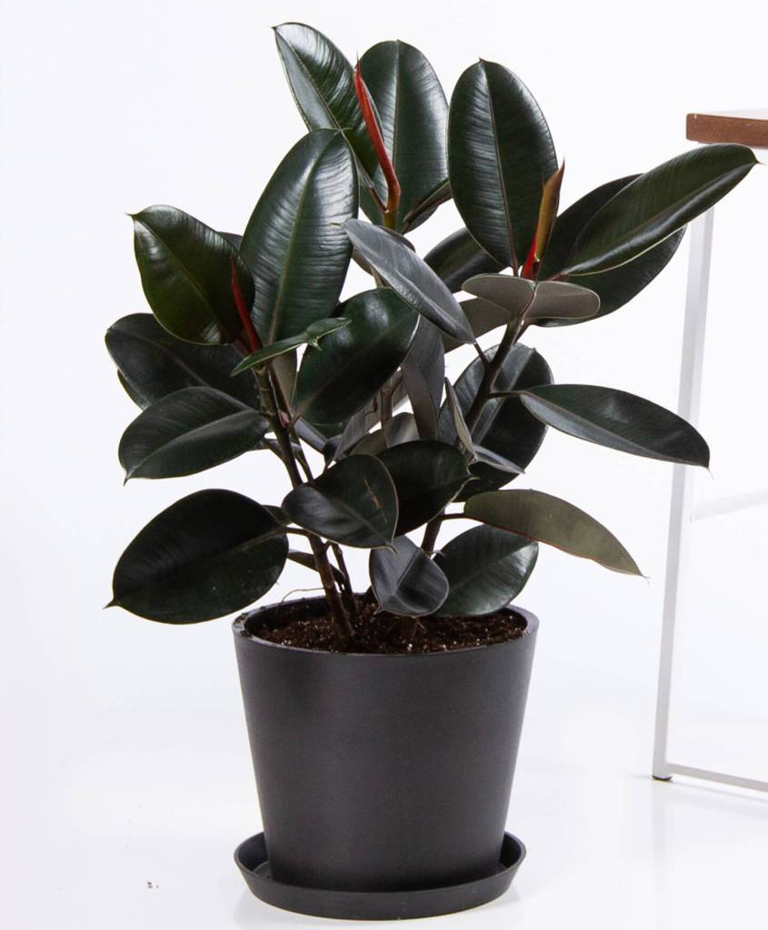 Rubber plant, tall, with nearly black leaves, long red buds, in black pot.