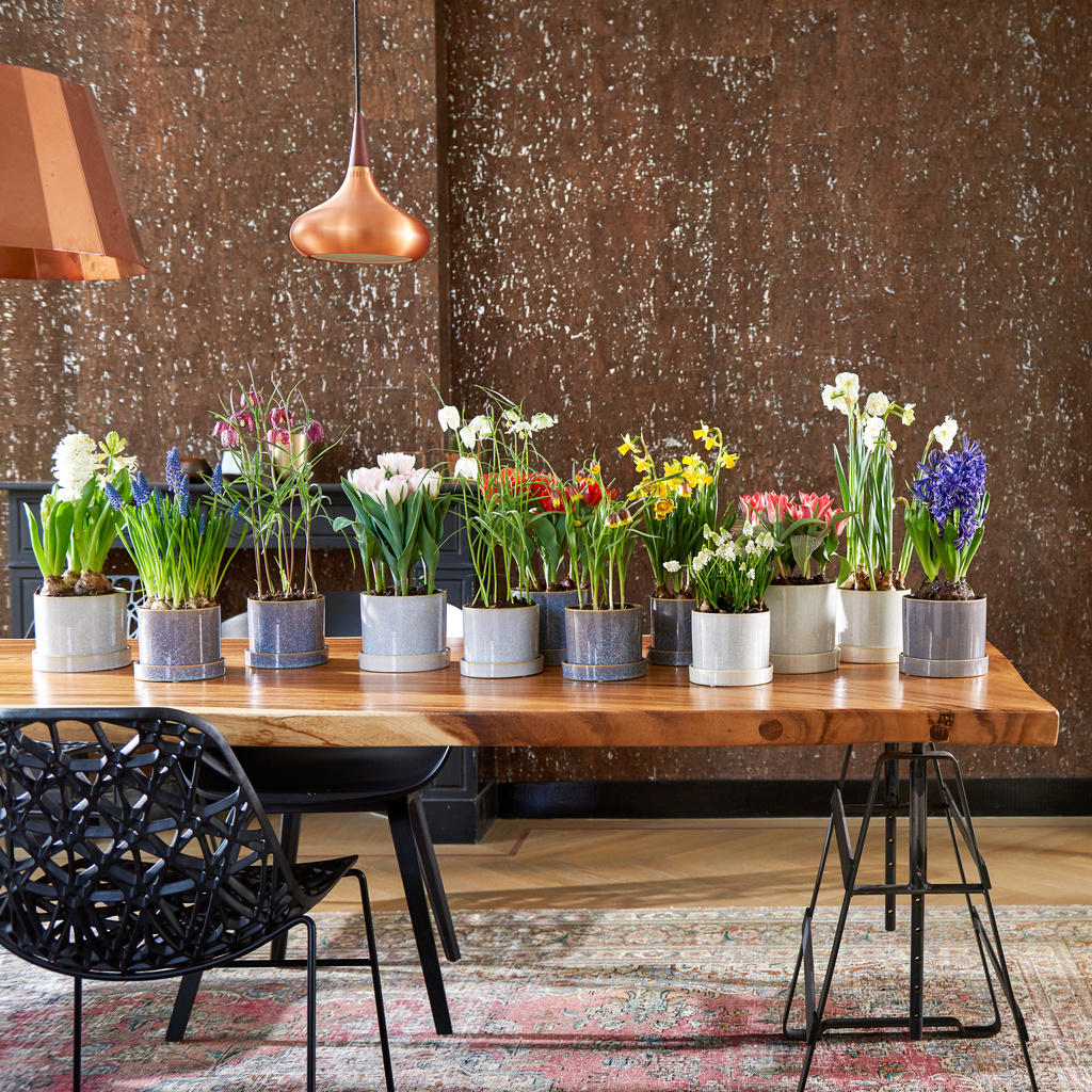 Mix of potted bulbs, including tuiips, grape hyacinths, hyacinths, narcissi and fritillaries, on a table.
