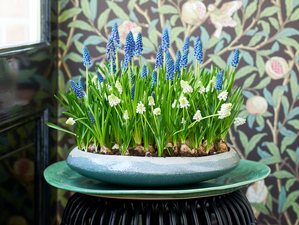 Blue and white grape hyacinths in a tray.