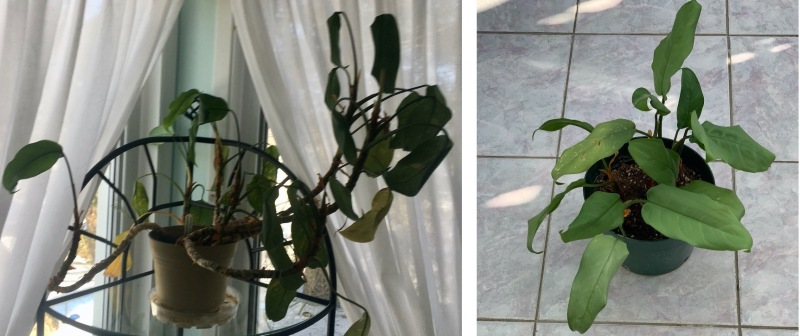 Before photo showing straggly plante, after photo showing dense, symmetrical plant.