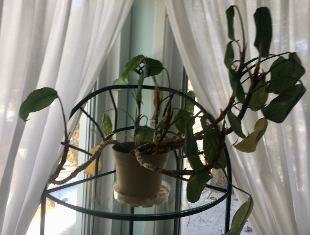 Aglaonema mother plant on stand in front of curtains, stems are bent and floppy, leaves are twisted and curled.