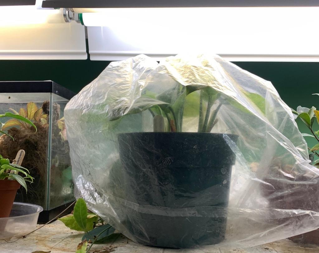Aglaonema cuttings set inside a clear plastic bac under lights.
