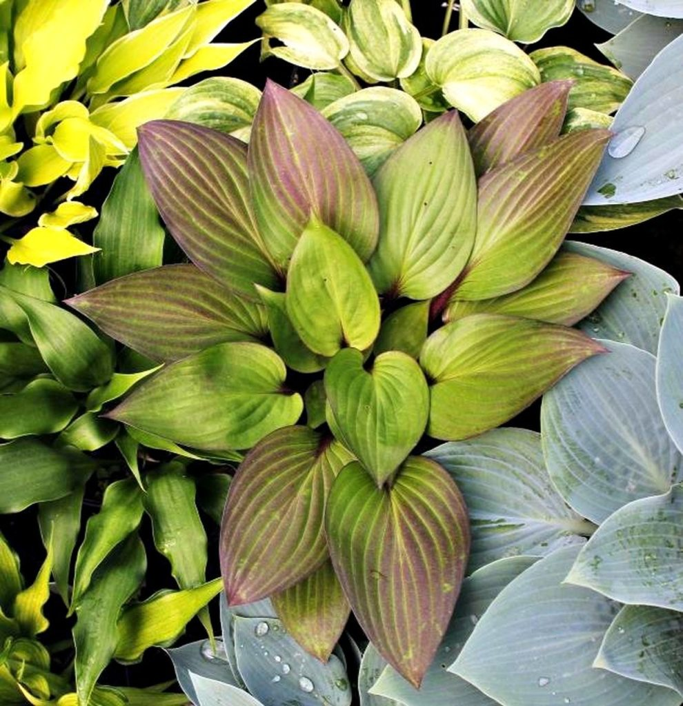 Hosta 'First Blush' with reddish outer larves and green veins.