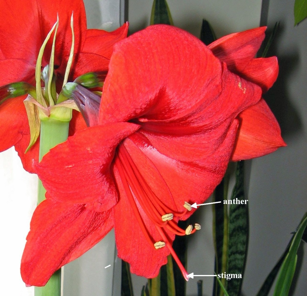 Red amaryllis flower showing anthers and stigma.