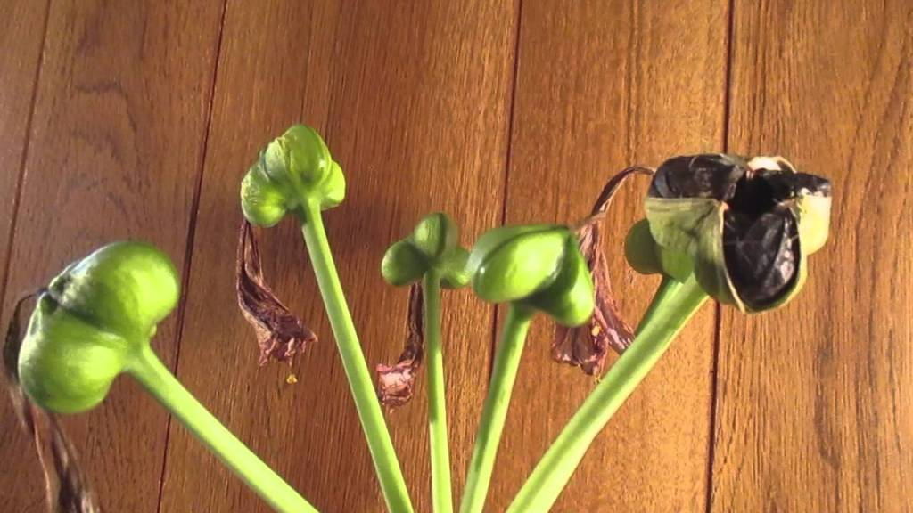 Green and maturing amaryllis seed capsules