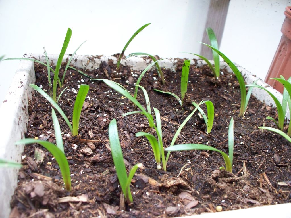 Young amaryllis seedlings with grasslike leaves.