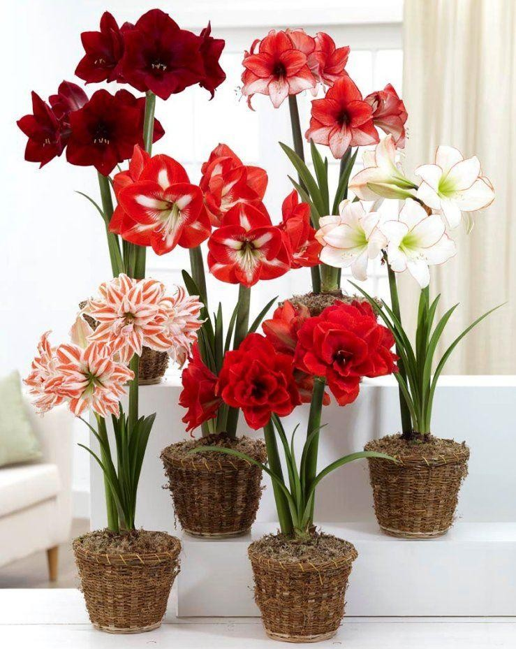 Various colors of amaryllis.