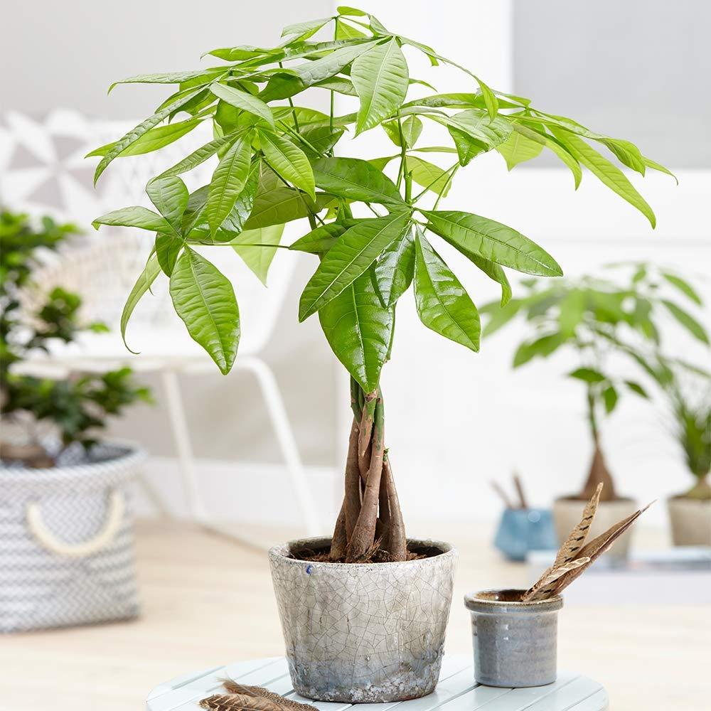 Money tree with braided stems, gray pot.