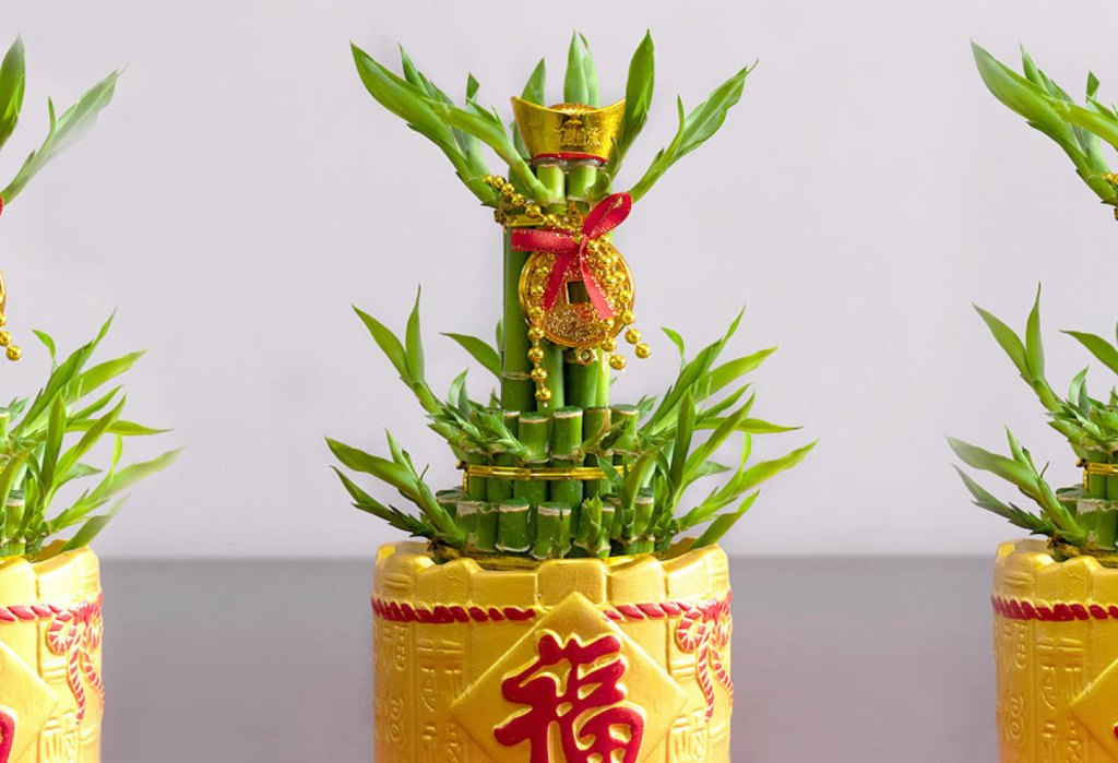 Lucky bamboo in yellow pot with red Chinese letters and gold ties and medallions and red ribbon.