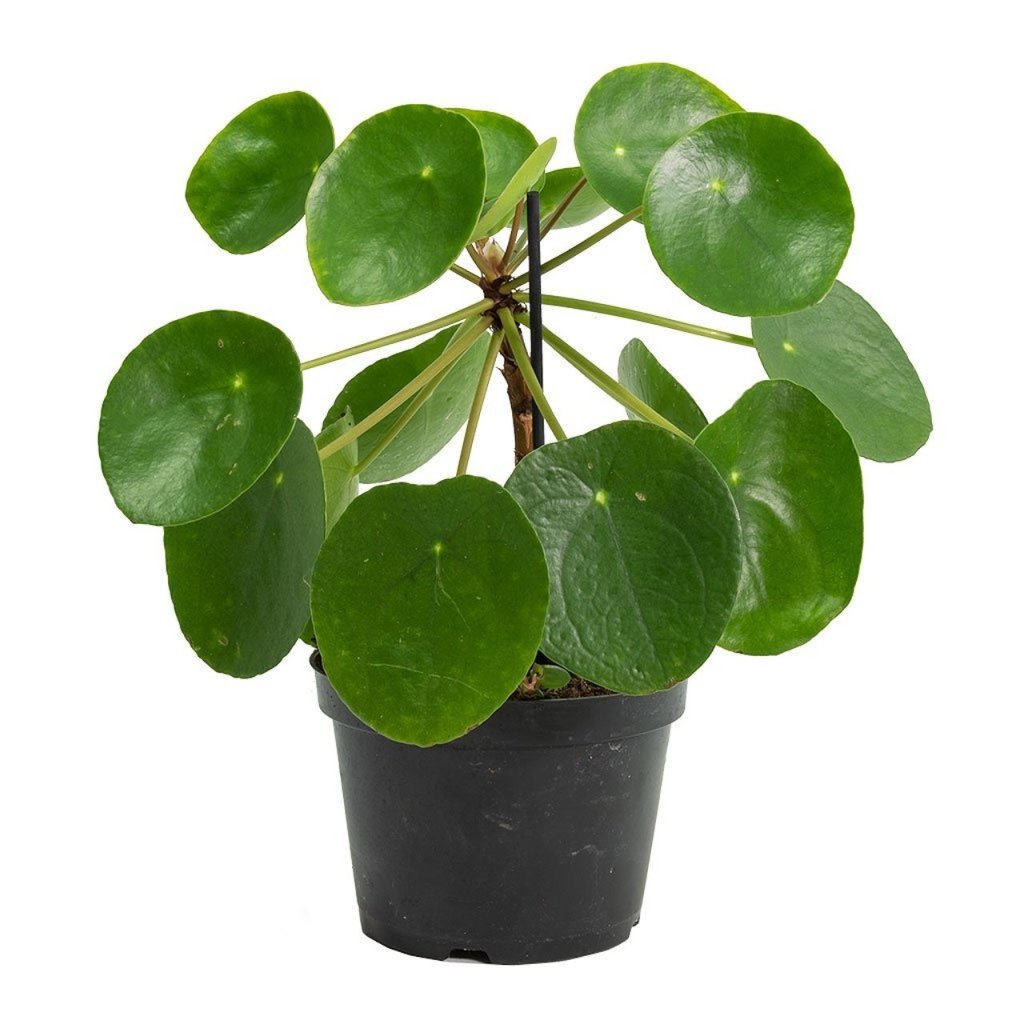 Chinese money plant with round, thin, flat leaves.
