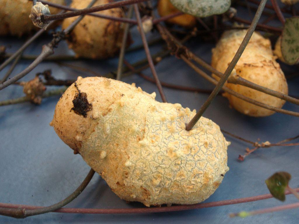 Potatolike tuber of Variegated Sweetheart Vine