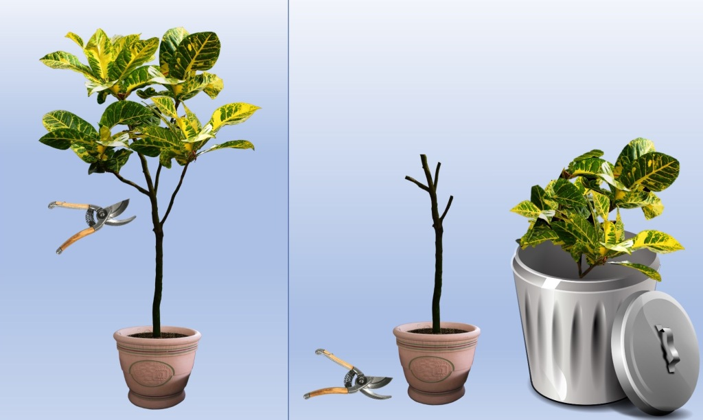 Potted indoor tree before pruning and after pruning, with all leaves removed.