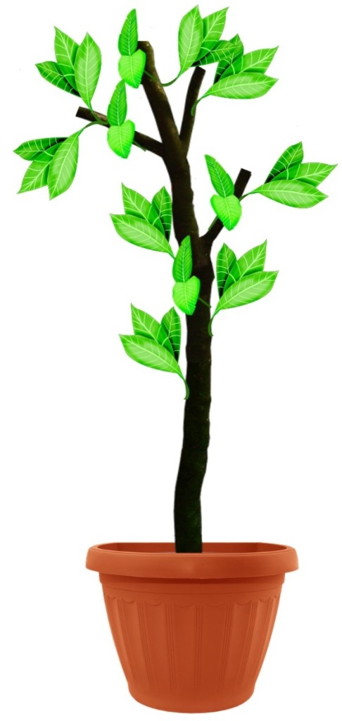 Illustration of potted tree cut back severely and now resprouting.