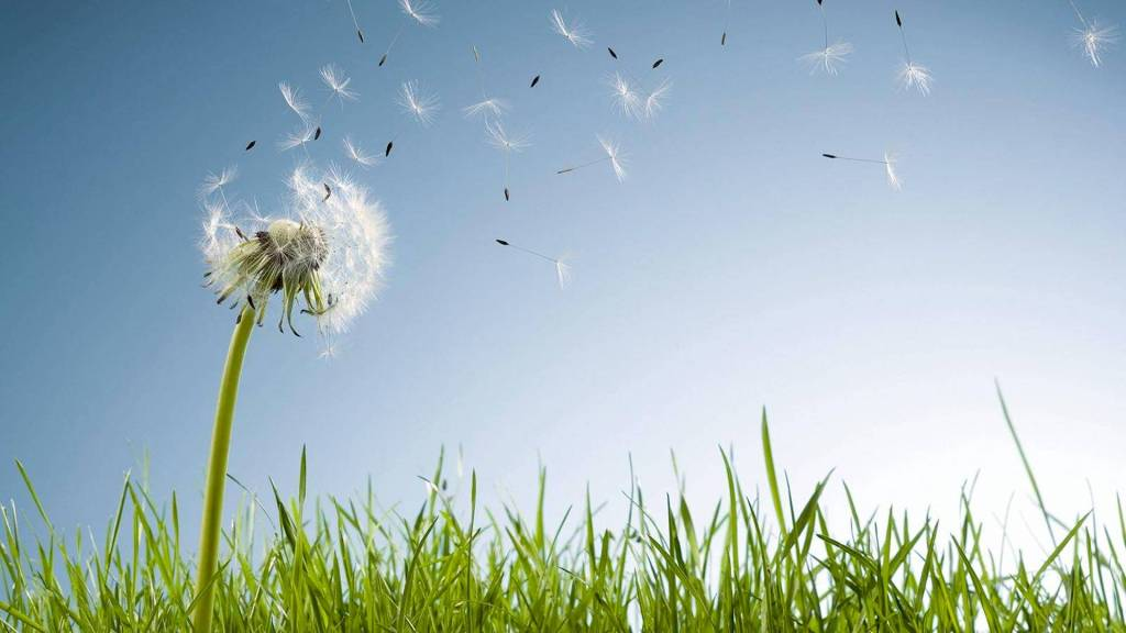Dandelion seed head with seeds blowing in the wind.